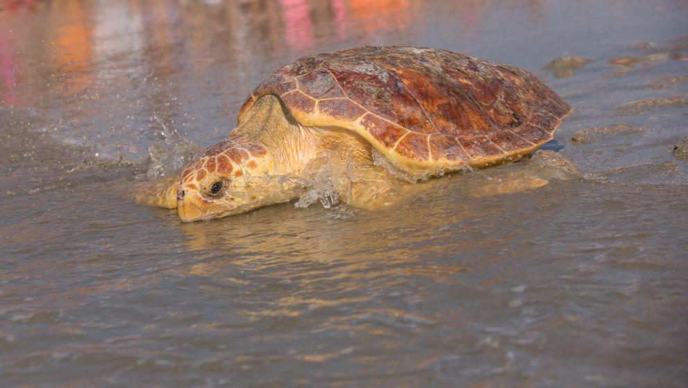 Loggerhead-Schildkröte; Symbolbild