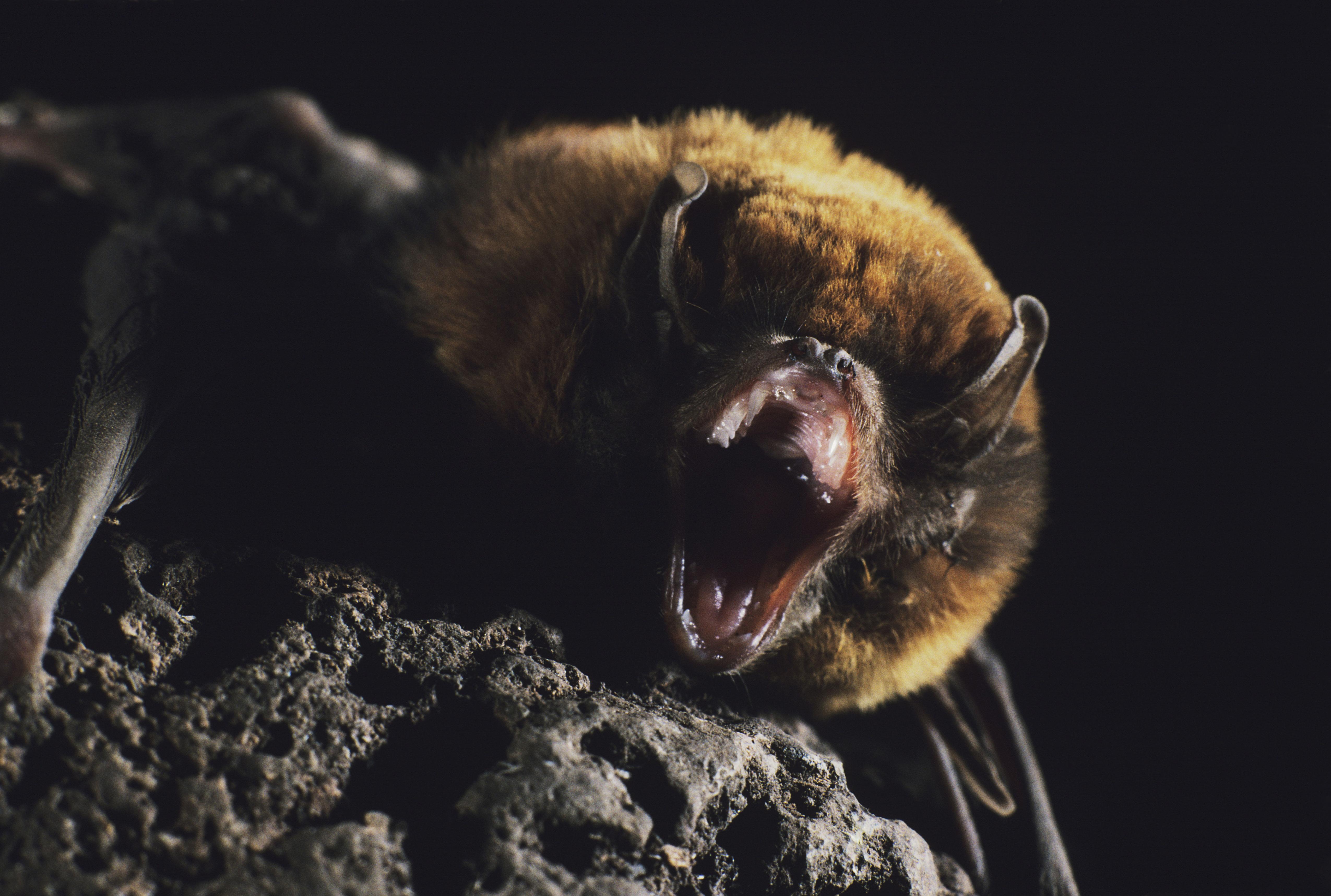 Leg dich nicht mit der Fledermaus an: Ihre Rache wird fürchterlich sein!