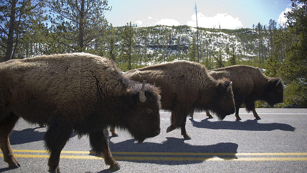 YELLOWSTONE, WY - MAY 13:  Bison create a traffic jam on a main road in Yellowstone National Park in Wyoming on Friday, May 1